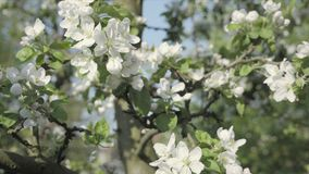Detail of fall petals on spring theme. Apple blossom flower. Apple blossom flower, trees in background. Detail of fall petals on spring theme. White flower with stock video