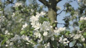Detail of fall petals on spring theme. Apple blossom flower. Apple blossom flower, trees in background. Detail of fall petals on spring theme. White flower with stock footage