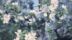 Detail of fall petals on spring theme. Apple blossom flower, cold and cool atmosphere. Apple blossom flower, trees in background. Detail of fall petals on spring stock video