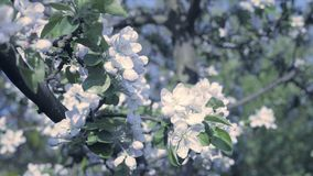 Detail of fall petals on spring theme. Apple blossom flower, cold and cool atmosphere. Apple blossom flower, trees in background. Detail of fall petals on spring stock video footage