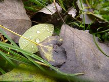 Detail of a fallen leaf with water drop Royalty Free Stock Image