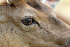 Detail on fallow deer buck eye Stock Photos