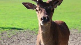 Detail of fallow deer stock video