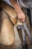 Detail of a farrier at work. Detail of a farrier rasping a horse hoov Royalty Free Stock Photos