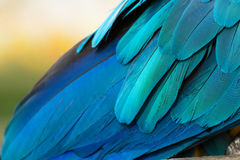 Detail of a feather parrot Blue-and-yellow Stock Photo