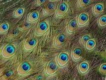Detail on the feathers of the peacock tail royalty free stock photography