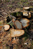 Detail of felled tree stump, wood grain. Stock Images