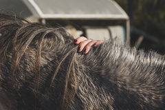 Detail of a female hand touching a horse's mane Stock Photography