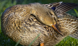 Detail of female mallard duck preening on bank 3 Stock Photo
