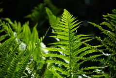 Detail of a fern Royalty Free Stock Photos