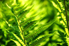 Detail of a fern. A detailed photo of a fern in the forest Royalty Free Stock Image