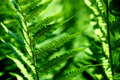 Detail of a fern Royalty Free Stock Image