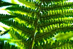 Detail of a fern. A detailed photo of a fern in the forest Stock Photo