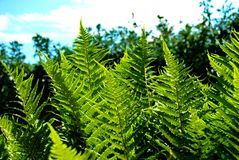 Detail of a fern. A detailed photo of a fern in the forest Stock Photography