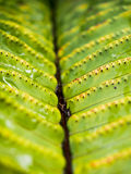 Detail of Fern Frond Royalty Free Stock Photo