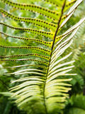 Detail of Fern Frond Stock Images