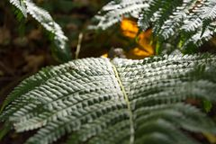 Detail of a fern leaf with shallow DOF. Detail of a fresh green fern leaf with shallow DOF looking over the top of the curving frond Royalty Free Stock Photography