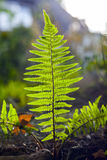 Detail of fern royalty free stock photo