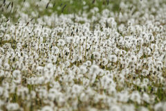 Detail of field of dandelions in spring Stock Photography