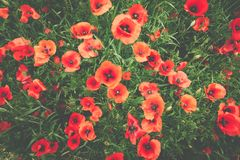 Detail of a field full of poppies. Washed look stock photography