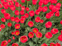 Detail of field of red tulips in bloom Royalty Free Stock Photography