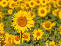 Detail of Field of Sunflower Royalty Free Stock Photo