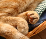 Detail fingertips of a red cat.  royalty free stock photo