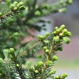 Fir branch detail. Detail of fir branch with buds in the fall Royalty Free Stock Photos