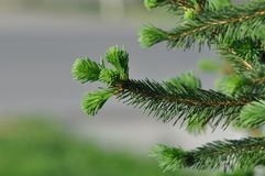 Fir branch detail. Detail of fir branch with buds in the fall Stock Images