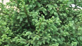 Fir branch detail. Detail of fir branch with buds in the spring Royalty Free Stock Photos