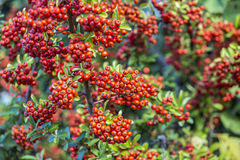 Detail of firethorn. With red berries Royalty Free Stock Image