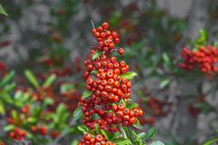 Detail of firethorn. With red berries Stock Photos