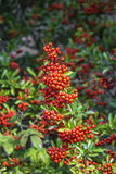 Detail of firethorn. With red berries Stock Photo