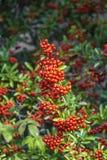 Detail of firethorn Stock Photo