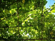 Vine leafs and grapes. Detail of the first spring vine leaf and grapes royalty free stock image