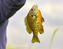 Detail of fished Lepomis gibbosus Royalty Free Stock Image
