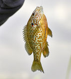Detail of fished Lepomis gibbosus Royalty Free Stock Photos