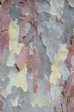 Plane Tree Bark, Natural Camouflage Pattern. Detail of flaking and finely textured plane tree bark; a natural camouflage pattern stock photo