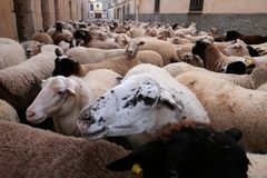 Detail on a flock of sheeps at Saint anthony animals blessing day. A flock of sheeps walks the streets of the village before being blessed by a priest in Muro in Royalty Free Stock Photo