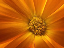 Detail of a flower. Stamens, stigma and filaments of a beautiful orange flower Stock Photography