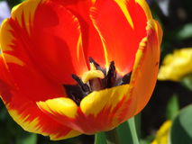 Detail Flower. A macro shot of an open tulip Royalty Free Stock Photos