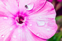 Detail of flower - stigma. Detail of pink flower - stigma and water drops on petals Macro photography Royalty Free Stock Images