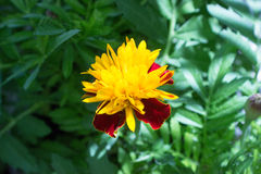 Detail of flower of Tagetes royalty free stock photo