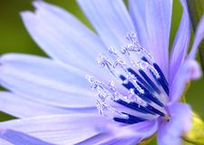Detail of flower of wild chicory. Stock Photos