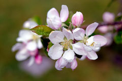 Detail of flowering apple tree with bokeh in shades of green and brown Royalty Free Stock Image
