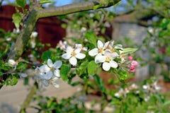 Detail of flowering apple tree Stock Image