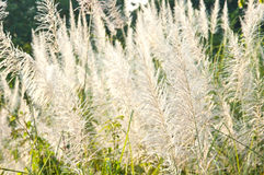 Detail of flowering grass blossoms. Stock Photo