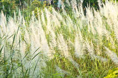 Detail of flowering grass blossoms. Royalty Free Stock Photography