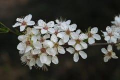 Detail of flowering greengage or damson plum tree. (Prunus domestica Stock Images