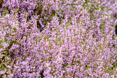 Detail of a flowering heather plant in dutch landscape Stock Image